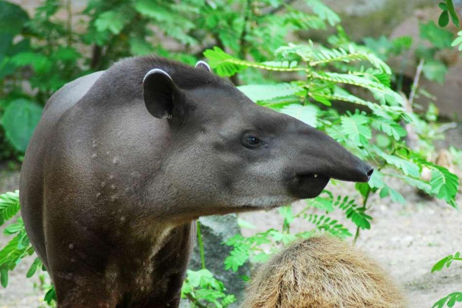 Ecuador   Tapir   © Advantage Travel Ecuador
